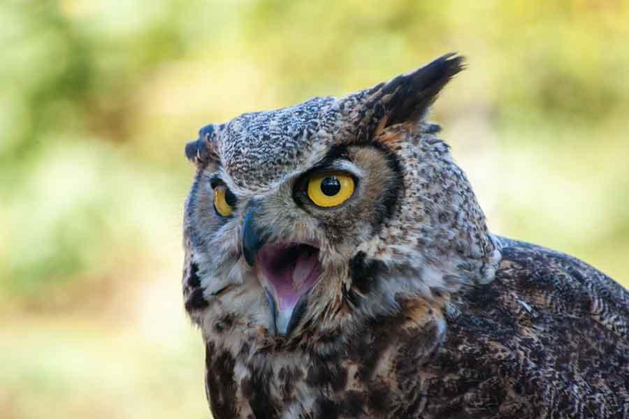 フクロウが鳴くのは悪い知らせ